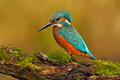 Beautiful Kingfisher With Clear Green Background. Kingfisher, Blue And Orange Bird Sitting On The Branch In The River. Beautiful B Stock Photo - 75945550