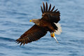 Eagle Flying With Fish. Beautiful , White-tailed Eagle, Haliaeetus Albicilla, Flying Bird Of Prey, With Sea In Background, Kamchat Stock Photos - 75946203