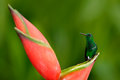 Hummingbird From Tropic Forest, Costa Rica. Beautiful Scene With Bird And Flower In Wild Nature. Hummingbird Sitting On Beautiful Royalty Free Stock Images - 75949479