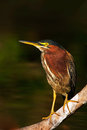 Heron Sitting On The Branch With River. Green-backed Green Heron, Butorides Virescens, In The Nature. Heron In The Dark Tropic For Royalty Free Stock Images - 75949699