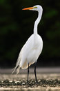 Bird In The Water. White Heron, Great Egret, Egretta Alba, Standing In The Water In The March. Beach In Florida, USA. Water Bird W Stock Image - 75950191