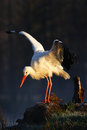 White Stork, Ciconia Ciconia, On The Lake In Spring. Stork With Open Wing. White Stork In The Nature Habitat. Wildlife Scene From Stock Images - 75950254