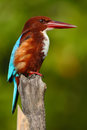 Beautiful Bird From India. White-throated Kingfisher, Halcyon Smyrnensis, Exotic Brawn And Blue Bird Sitting On The Branch, Sri La Stock Photo - 75950900
