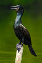 Shag From India. Black Bird. Indian Cormorant, Dark Bird In Nature Habitat, Sitting On The Branch With Clear Green Background, Bun Stock Images - 75950974