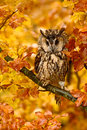 Bird In Autumn Forest. Owl In Orange Autumn Leaves. Long-eared Owl With Orange Oak Leaves During Autumn. Owl In The Nature Habitat Royalty Free Stock Images - 75950979