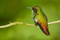 Beautiful Hummingbird. Coppery-headed Emerald, Elvira Cupreiceps, Beautiful Hummingbird From, Green Bird, Scene In Tropical Forest Stock Photos - 75951123