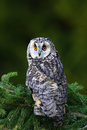 Owl In The Forest. Long-eared Owl Sitting On The Branch In The Spruce Larch Forest During Autumn. Nice Bird In The Nature Habitat. Stock Photography - 75951982