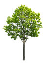 Maple Tree Stock Images - 75974284