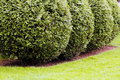 Ornamental Evergreen Hedges Stock Photography - 75979652
