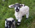 Spring Lambs Royalty Free Stock Photo - 75985635