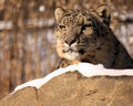 Snow Leopard Royalty Free Stock Photography - 7608357