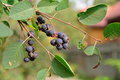 Ripe Saskatoon Berries On The Branch In Sunny Day Royalty Free Stock Photography - 76005057