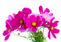 Cosmos Pink Flowers Royalty Free Stock Photos - 76023978