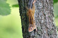 Small Chipmunk On Trunk Stock Image - 76029541