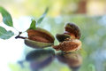 Young Almonds Stock Images - 76033664