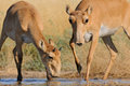Wild Saiga Antelopes At The Watering Place In The Morning Stock Photography - 76048802