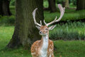 Fallow Deer Stock Images - 76059804
