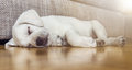 Tired Sleeping Dog Puppy On Parquet Floor Royalty Free Stock Images - 76078419