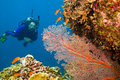 Female Scuba Diver Viewing Gorgonian Sea Fan Royalty Free Stock Photo - 7626495