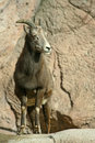 Young Bighorn Sheep Stock Photos - 7627003