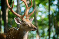 Male Red Deer Stock Photography - 76215242