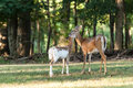 Whitetail Deer Doe And Fawn Royalty Free Stock Photo - 76239985