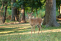 Whitetail Deer Fawn Stock Photos - 76239993