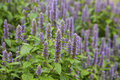 Anise Hyssop Stock Images - 76251074