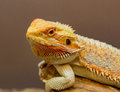 Close Up Of A Bearded Lizard, Royalty Free Stock Image - 76254476