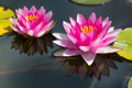 Waterlily In Garden Pond Stock Image - 76315631