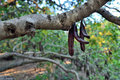 Carob Tree Stock Images - 76356544