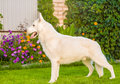 Purebred White Swiss Shepherd Standing In Profile On The Grass. Stock Images - 76399924