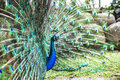 Peacock Showing Its Tail Stock Photos - 76415633