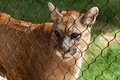 Young Cougar Cat Royalty Free Stock Image - 76461366