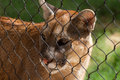 Young Cougar Cat Royalty Free Stock Photo - 76461465