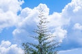 Lonely Pine Tree Royalty Free Stock Photography - 76490317