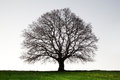 Old Giant Oak Tree Stock Images - 76500004