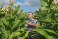 Farmer In Tobacco Field Stock Images - 76553204