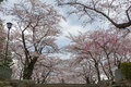 Cherry-blossoms In Iwate Park (Morioka Castle Site Park). Royalty Free Stock Photography - 76556087