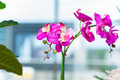 The Orchid Flower In The Pot At Home Stock Image - 76559831