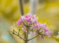 Melicope Elleryana Pink Flowered Doughwood Or Evodia Royalty Free Stock Photography - 76603567
