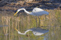 Common Egret On The Hunt With Its Reflection Stock Photo - 76630530