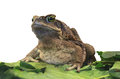 Cane Toad. Stock Images - 76646334