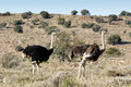 Male And Female Ostrich At The Mountain Zebra National Park Stock Image - 76754521