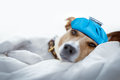 Dog Sleeping Or Resting The Hangover And Headache Royalty Free Stock Photos - 76757108