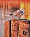 Seagull On Post Stock Image - 7687021
