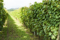 Vineyards Sunny Day With White Ripe Clusters Of Grapes. Italy Lake Garda. Stock Photos - 76840823