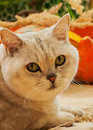 Cute Cat And Pumpkin. Thanksgiving Day, Family Holiday, Halloween . Sunny Photo, Vibrant Autumn Background Stock Photo - 76861040