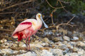 Roseate Spoonbill Standing On Shoreline Rock Royalty Free Stock Images - 76907809
