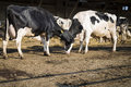 Two Dairy Cows On The Farm Stock Photo - 76918760